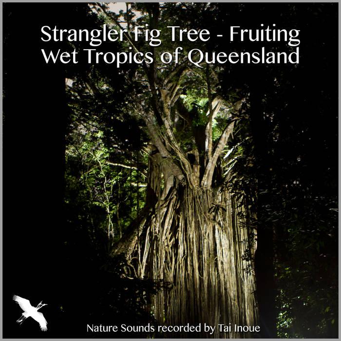 Strangler Fig Tree - Fruiting cover art